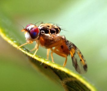 Fruitfly malware